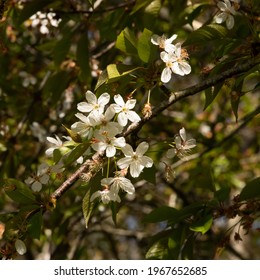 Beautiful white cherry blossoms on a thin branch and against the green vegetation. Beauty of spring in bloom in the north of France. Light of a sunny day in early April. Squre photo format