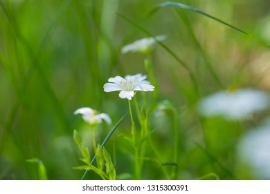 Beautiful white chickweed flower blooming in forest at springtime.