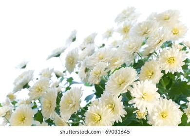 Beautiful white chrysanthemum flower (autumn vivid background) isolated on white