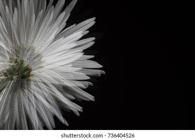 Beautiful White Chrysanthemum Flower on Black Background with Extra Space