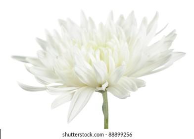 Beautiful White Chrysanthemum Flower on White Background