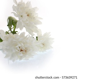 Beautiful white chrysanthemum flowers on a white background