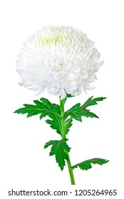 Beautiful white chrysanthemum with leaf isolated on a white background