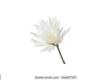 beautiful white chrysanthemum  on a white