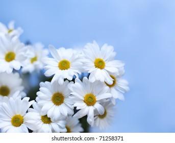 Beautiful white chrysanthemum on light blue background