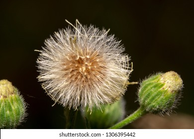 Beautiful White Common Dandelion Taraxacum officinale with orange center about to seed. Common Dandelion about to blossom on each side