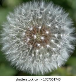 beautiful white cool dandelion outside