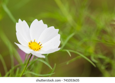 Beautiful white cosmos flower blooming  in  spring day  by Macro lens .