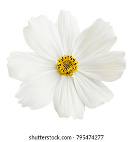 Beautiful white cosmos flower isolated on white background.