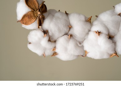 Beautiful white cotton flower on grey background. Natural plant.