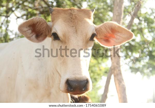 beautiful-white-cow-head-portrait-600w-1