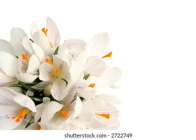 Beautiful white crocus on a white background