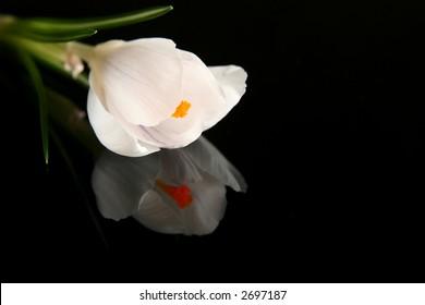 Beautiful white crocus on a black background
