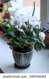 Beautiful white cyclamen flower in a ceramic flower pot as home plant