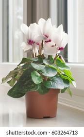 Beautiful white cyclamen in a pot on a windowsill