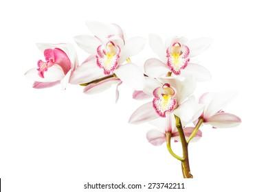 Beautiful white cymbidium flower orchid close up isolated on white background