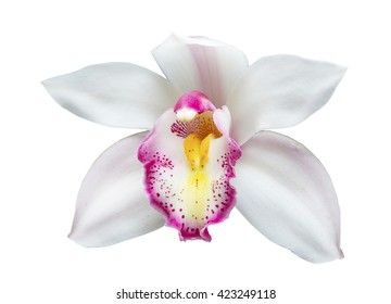 Beautiful white cymbidium flower orchid close up isolated on white background.
