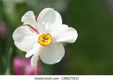 Beautiful white Daffodil flower against green background