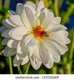Beautiful White Dahlia with Yellow Center and honey bee, closeup