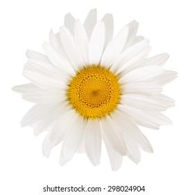 Beautiful white daisies
