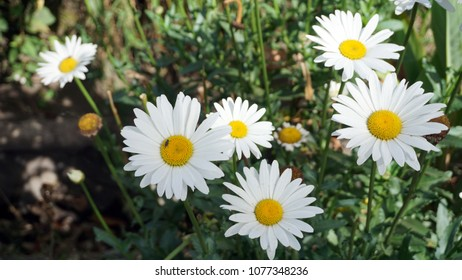 Beautiful white daisy flowers. Selective focus