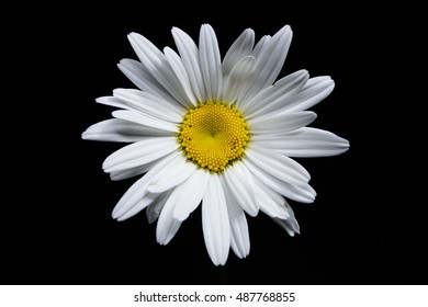 beautiful white daisy with natural shadows isolated on black