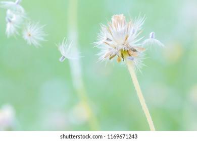 Dandelion images stock photos vectors shutterstock beautiful white dandelion flowers with blur background mightylinksfo
