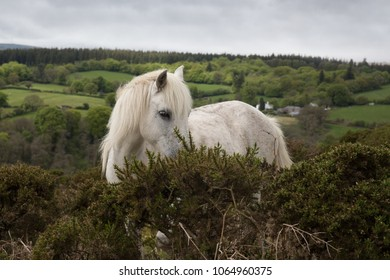 Beautiful white Dartmoor pony on Dartmoor