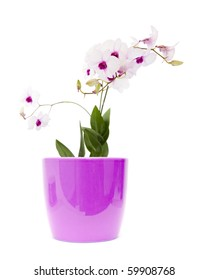 beautiful white; dendrobium orchid with dark purple centers in light lilac pot; isolated on white background