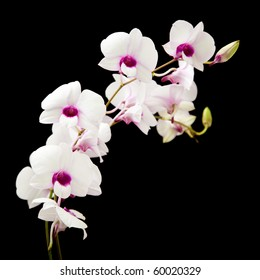 beautiful white Dendrobium orchid with dark purple centers; isolated on black background;
