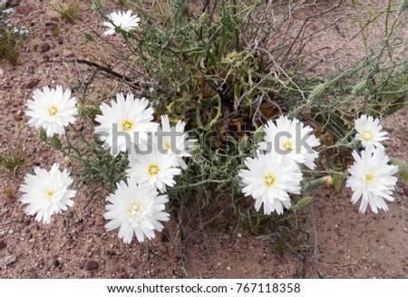 Beautiful White Desert Flowers Wildflower Super Stock Photo Edit