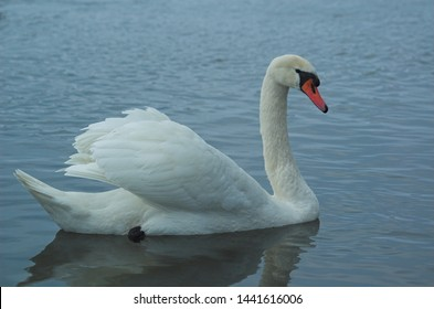 beautiful white dignified swans resting on the blue calm water of the Baltic sea