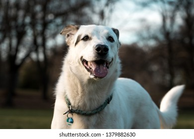 Beautiful white dog on a meadow in a public park on a sunny day.