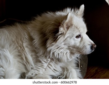 Beautiful white dog relaxing in her bed, calm and serene.
