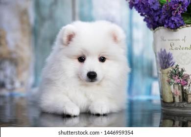 Beautiful white dog Spitz - japanese spitz , dog cute pet happy smile in flowers