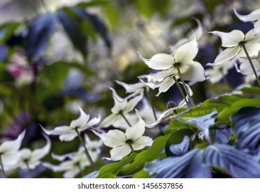 Beautiful white dogwood blossoms are lit from above and create a lovely kine of blossoms