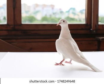 a beautiful white dove in the house on the balcony looks away behind it the window and the summer street