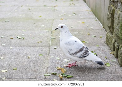 Beautiful white dove on the street.