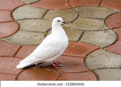 Schöne weiße Taube, Taube des Friedens, auf der nassen Straße. Haustaube (Columba livia domestica) in der Stadt. Es gibt einen Platz für deinen Text.
