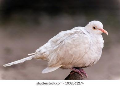 Beautiful white dove perching on a rock