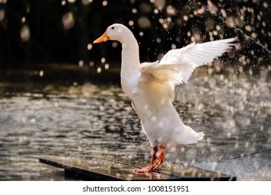 beautiful white duck spread wings in the rain