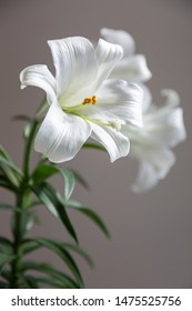 A beautiful white Easter lily in full bloom captures the soft afternoon light