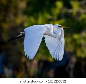 Beautiful white egret flies over pond