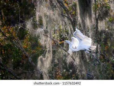 Beautiful white egret flying left over Spanish moss in Florida