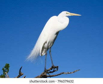 Beautiful White Egrets/Snowy Egrets