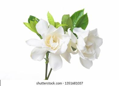beautiful white flower gardenia on white background
