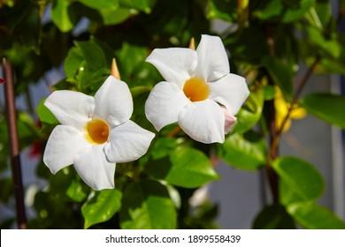 Beautiful white flower, Mandevilla laxa, Chilean jasmine, close-up.