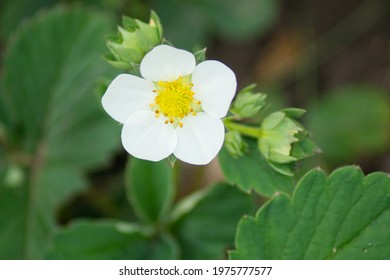 Beautiful white flower of strawberry plant, blooming strawberry in spring, top view photo. - Shutterstock ID 1975777577