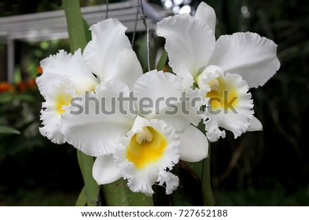 Beautiful white flower yellow lips orchid stock photo edit now beautiful white flower with yellow lips orchid name catleya queen sirikit from thailand mightylinksfo