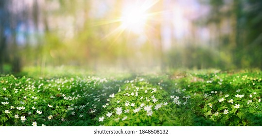 Beautiful white flowers anemones in spring and shining bright sun in nature in forest . Spring morning forest landscape with flowering primroses, soft selective focus in foreground.